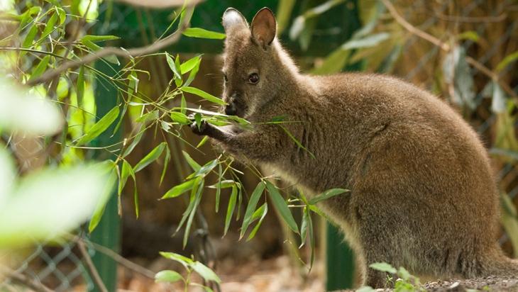 Bennett-Känguru im Tierpark Hagenbeck © Hagenbeck/Lutz Schnier