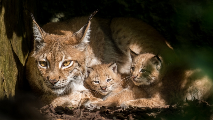 Luchs-Nachwuchs in Hellabrunn © Tierpark Hellabrunn/Daniela Hierl