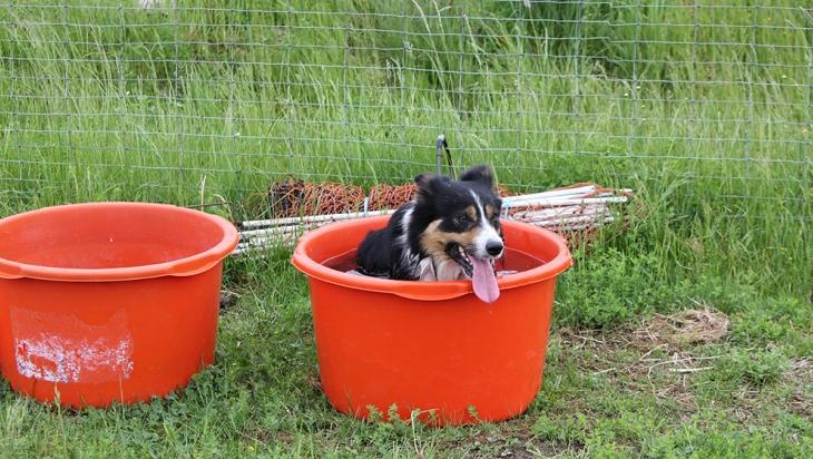 Border Collie Damon erfrischt sich im Wassertrog; Bild: DB AG