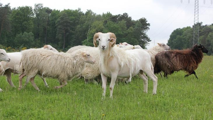 Zur Herde gehören Schafe verschiedener Rassen; Bild: DB AG