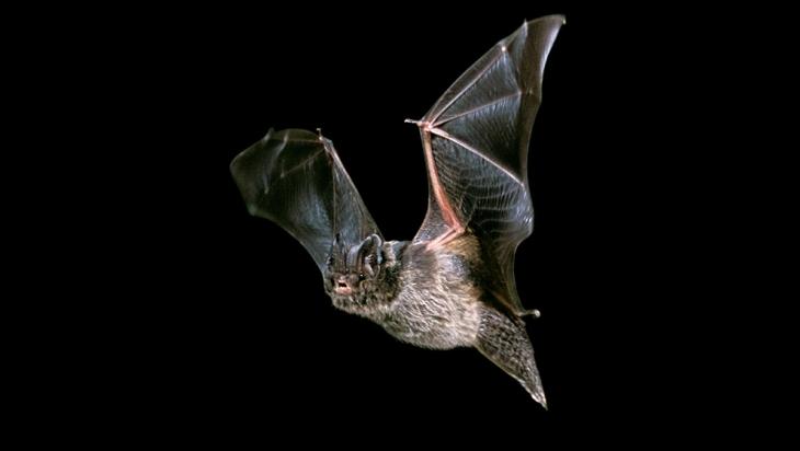 Fledermaus; Bild: Alamy