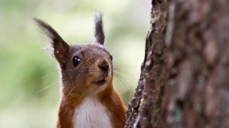 Eichhörnchen; Bild: Werner Mandl, Arosa Eichhörnchen 03, CC BY-SA 3.0