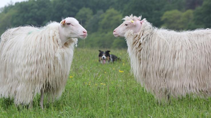 """Hat """"seine"""" Schafe immer im Blick: Hütehund Damon © DB AG"""