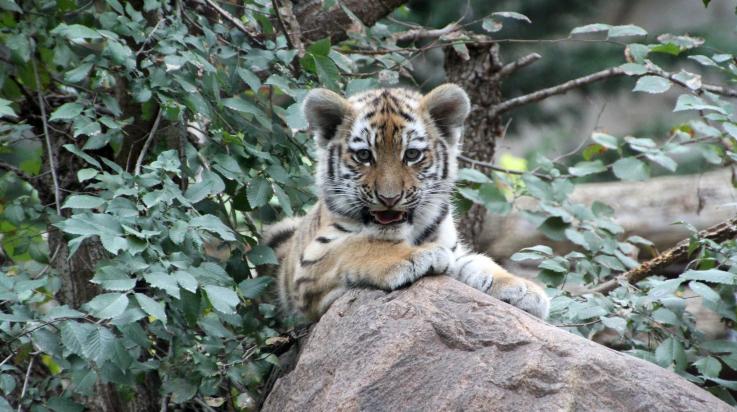 Tigerjungtier im Zoo Leipzig © Zoo Leipzig